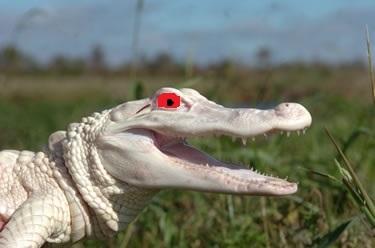 hybrid crocs on patrol in South Florida